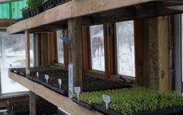 greenhouse-seedlings