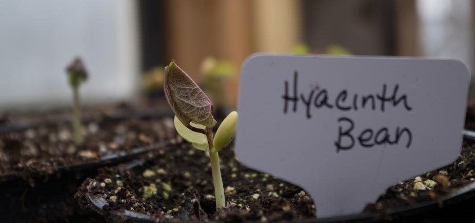 hyacinth-bean
